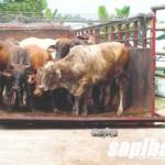 Sapi-Import-2014