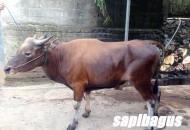 Jual Bibit Sapi Bali